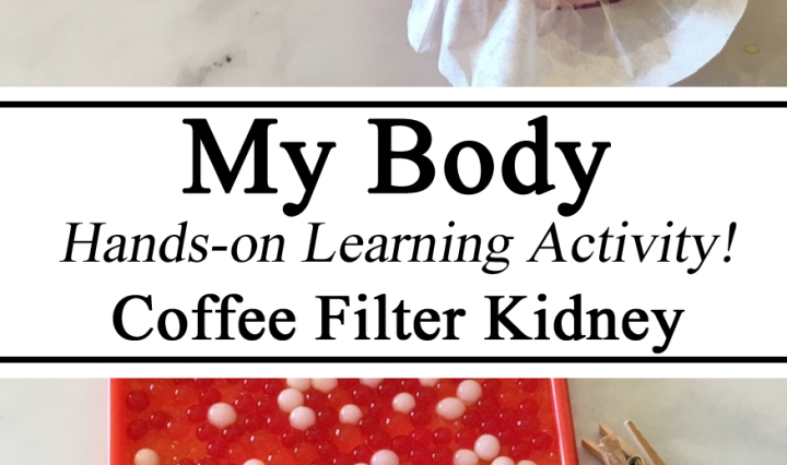 My Body, Coffee Filter Kidney, Water Beads, Educational Activity, Hands on Learning, Homeschool, Homeschooling, Montessori, Blood, Anatomy & Physiology, Learning About Human Body, How Kidneys Work, Preschool, Kindergarten, Homeschool, Homeschooling