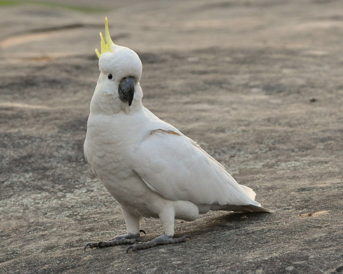 cockatoo-164913_960_720