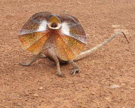 frill-necked-lizard_19-108190