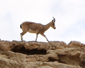 gazelle-3510459_960_720