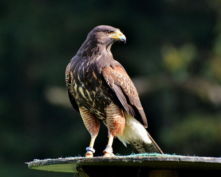 peregrine-falcon-3023839_960_720