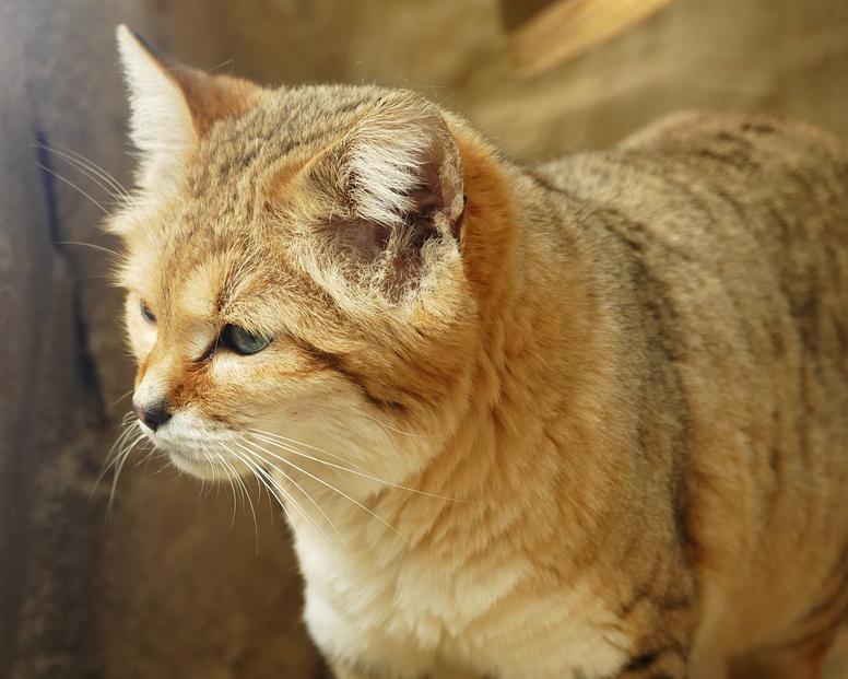 sand-cat-3301688_960_720