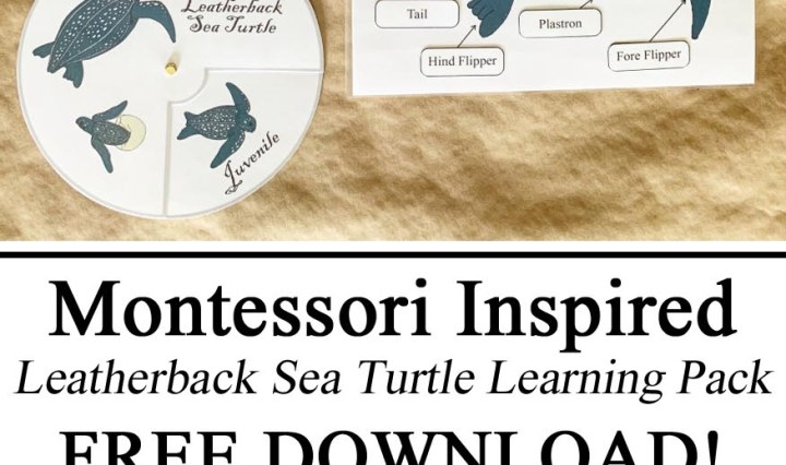 Montessori Inspired Style Waldorf Zoology Learning Parts of Life Cycle Leatherback Leather Back Leather-back Sea Turtle Jamaican Jamaica Unit Study Tracing Sheet Spinner Parts of Matching, Learning Letters Learn Felt Puzzle Educational Resources FREE Printables Homeschool, Waldorf Preschool PreK Kindergarten Hands on Learning